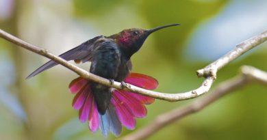 bird jamaica